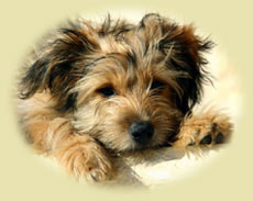 image of a very cute benji-looking puppy who needs housebreaking