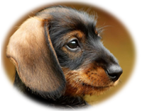 image of a very cute dachshund puppy on The Housebreaking Bible about page