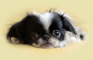 image of a very cute Japanese Chin puppy that needs  house training